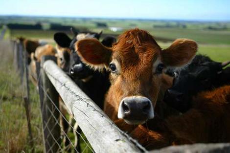 cattleweb